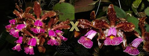 Cattleya schilleriana (atro 'Coluna Vermelha' x 'Chocolate II')