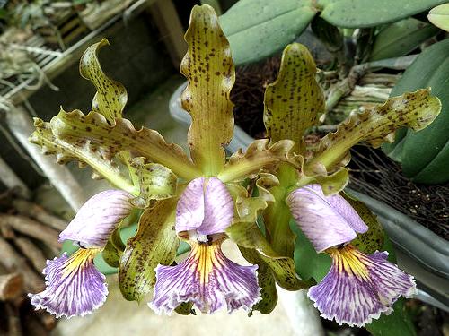 Cattleya schilleriana coerulea