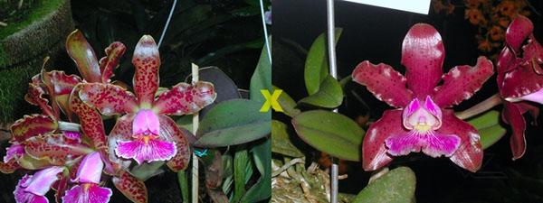 Cattleya schilleriana 'Daniel Endringer' x schilleriana 'Preciosa'