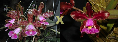 Cattleya schilleriana 'Daniel Endringer' x schilleriana 'Sublime'