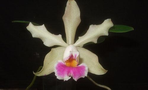 Cattleya schilleriana dark x Laelia alaorii alba