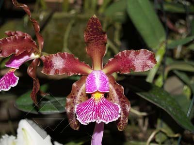 Cattleya schilleriana escura 'Jucu' x Cattleya schilleriana 'Paredao'