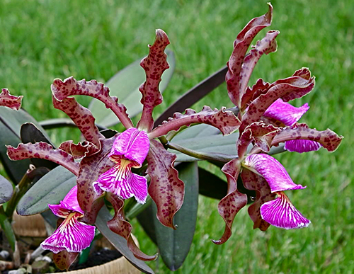 Cattleya schilleriana ('Sanderiana' x 'Angel Kiss')