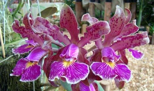 Cattleya schilleriana sem pintas x Cattleya schilleriana petalas largas