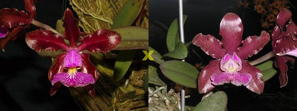 Cattleya schilleriana 'Sublime' x 'Preciosa'