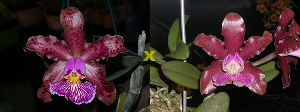 Cattleya schilleriana 'Surpresa' x 'Preciosa'