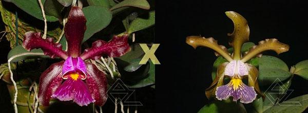 Cattleya schilleriana (tipo 'Aphri' x caerulea 'Sto Antonio')