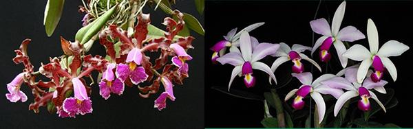 Cattleya schilleriana x violacea semi-alba