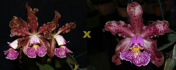Cattleya schilleriana 'Zaslawski' x 'Surpresa'