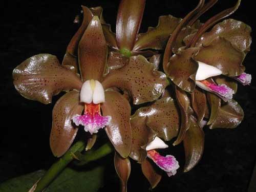 Cattleya schofieldiana 'Arraial D'Ajuda' XXXX x SELF
