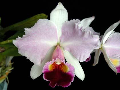 Cattleya trianae orlata 'TT' XXX x Cattleya trianae 'Cecilia' (04-8)