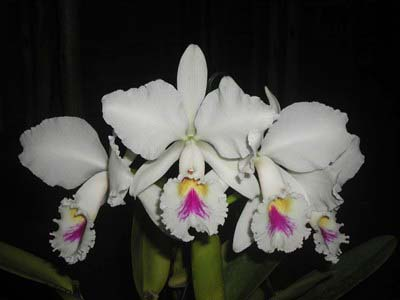 Cattleya trianae semi alba 'Rinaldi' x SELF