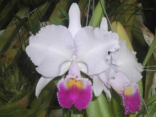 Cattleya trianae 'Taky Huailla' (42-8) x SELF