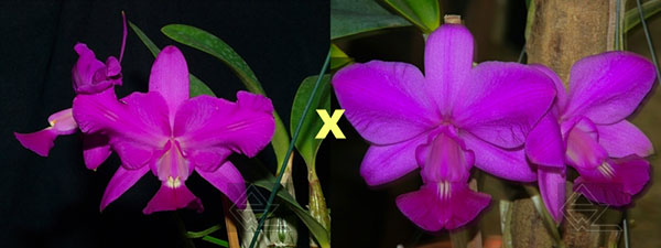 Cattleya walkeriana rubra pelorica 'Esperada' x (walkeriana rubra flamea 'Portinari' x SLF)