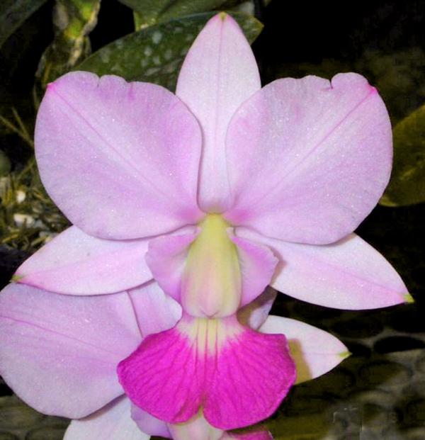 Cattleya walkeriana semi-alba 'Tokyo' x (suave 'Cobicada' x flamea 'D Teresinha')