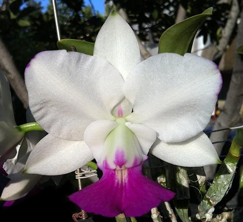 Купить гибридную орхидею на сайте Планета орхидей