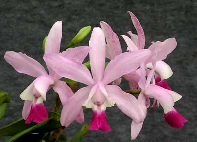 Cattleya Walkerinter