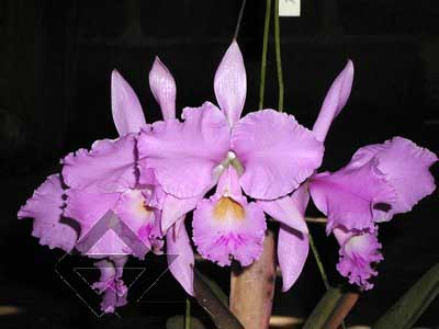 Cattleya warneri concolor 'Z-300' x warneri striata 'EC'