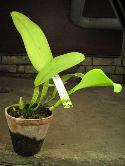 Cattleya warneri 'Pingo de Luz' x Cattleya warneri integra-orlata-pincelada 'Superba'