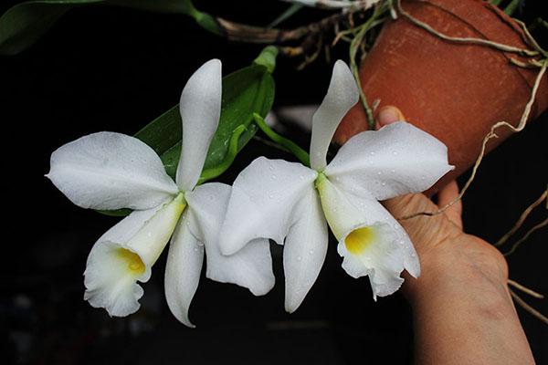 Cattleya warneri semi alba 'Geneva' x Laelia praestans alba