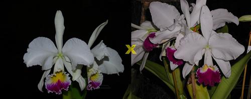 Cattleya warneri semi-alba ('Guindani' x 'Pater Noster')