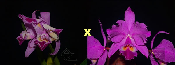 Cattleya warneri trilabelo 'EM' x warneri escura 'Belezinha'