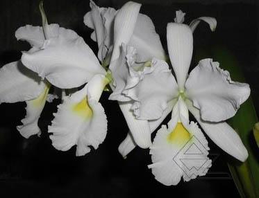Cattleya warscewiczii alba 'Envigado' x SELF