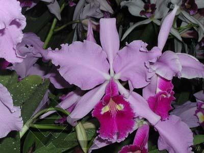Cattleya warscewiczii tipo 'Hector' x SELF