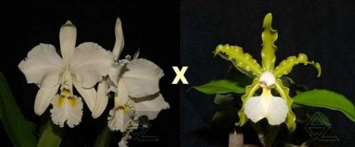 Cattleya Whitei alba (warneri alba x schilleriana alba)