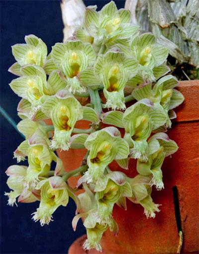 Clowesia amazonica