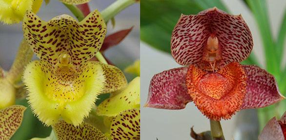 Clowesia Jumbo Lace 'SVO' x Catasetum denticulatum 'Orange Lip'