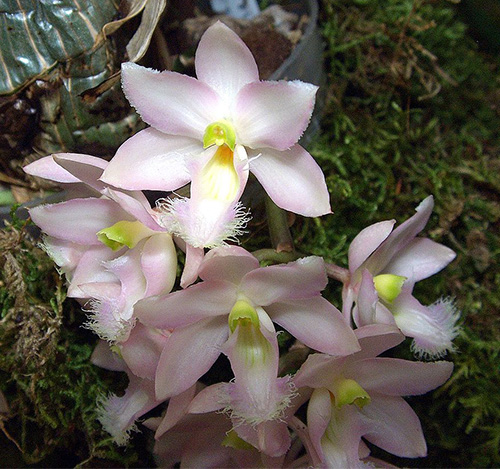 Clowesia rosea