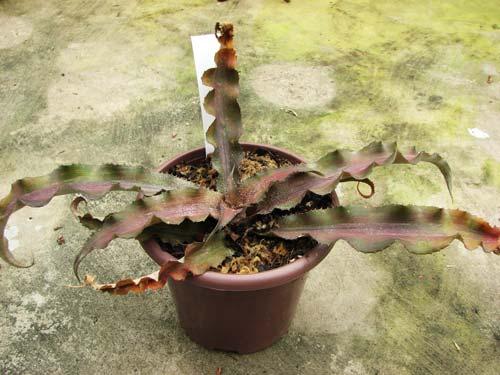 Cryptanthus undulatus