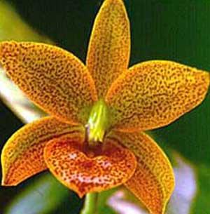 Cycnodes Jumbo Jewel 'Jumbo Orchids Crystal Star'