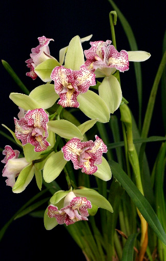 Cymbidium Green Valley Emerald 'Three Lip'