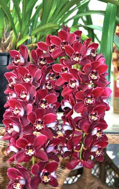 Cymbidium Ruby Eyes 'Red Baron'