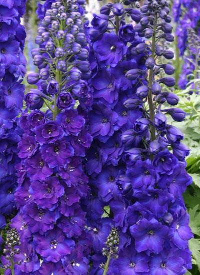 Delphinium elatum Pagan Purples