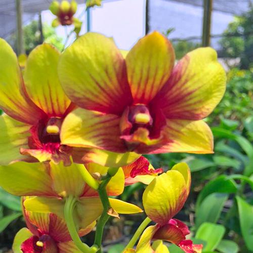 Dendrobium #263 Yellow Splash