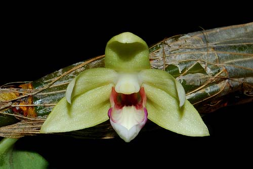Dendrobium balzerianum