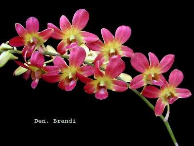 Dendrobium Brandy