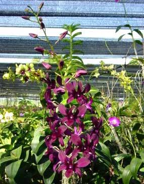 Dendrobium Burana Delight