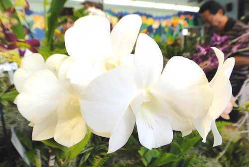 Dendrobium Burana White x White Dragon