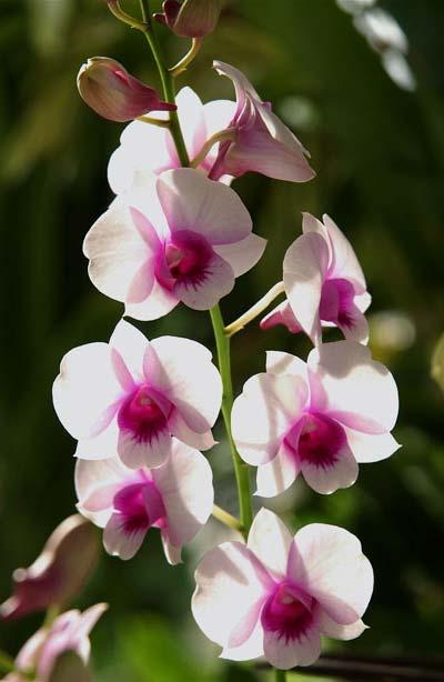 Dendrobium Chao Praya Gem