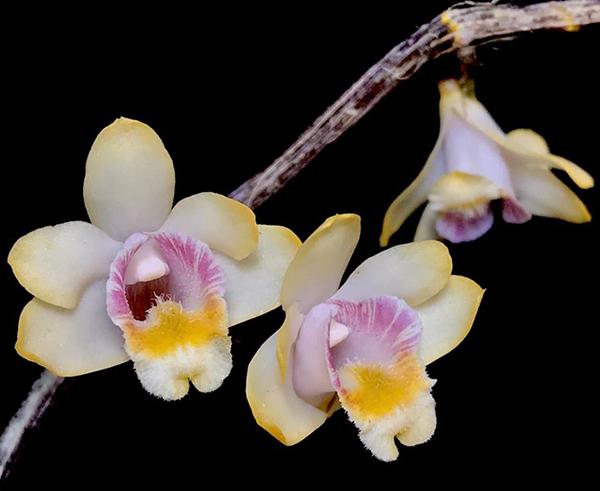 Dendrobium chittimae