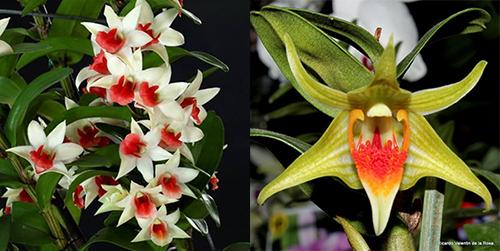 Dendrobium Dawn Maree 4N x Peng Seng