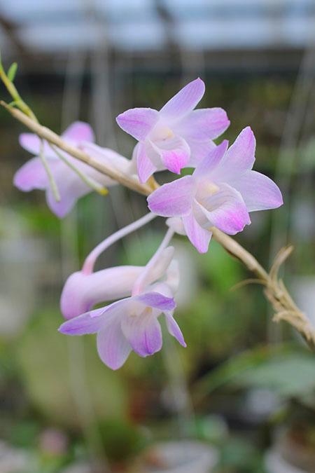 Dendrobium fairchildae