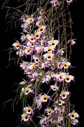 Dendrobium falconeri