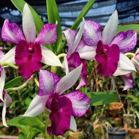 Dendrobium Freida