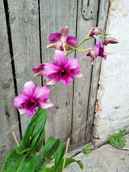 Dendrobium King Dragon Pink Stripe