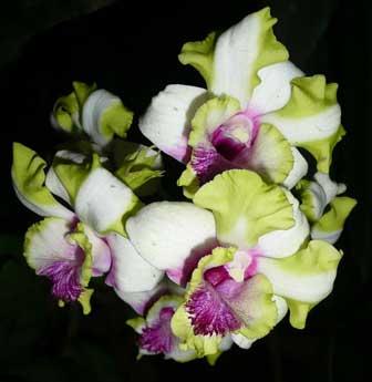 Dendrobium Kultana Fancy